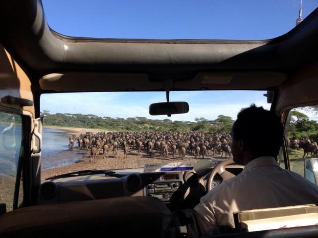 mittendrinnen in der Gnuwanderung in der Serengeti