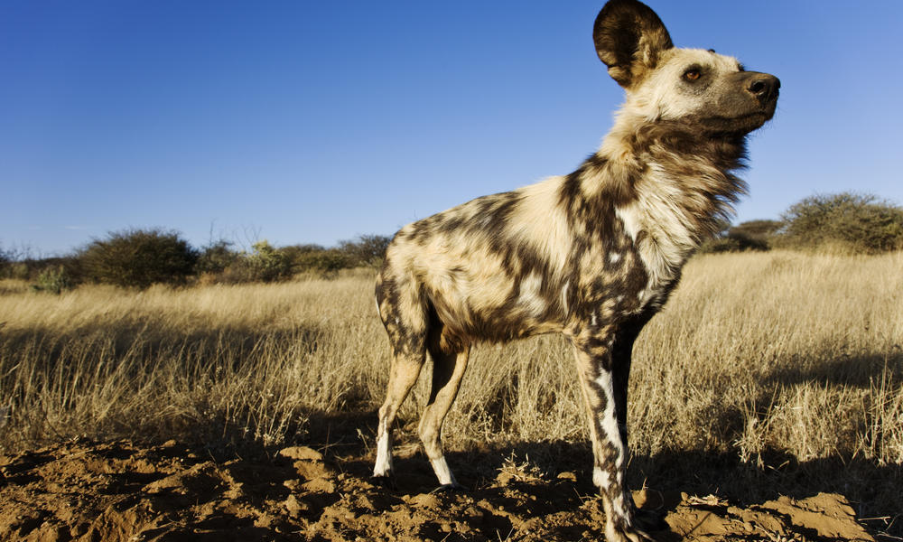 lg_african_wild_dog_why_they_matter_image_288444